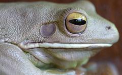 cameleonfrog