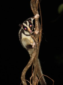 White striped possum